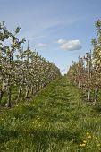 Rows Of Apple Trees In Bloom
