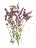 Dry Flowers Of Lavender Plant Isolated On White
