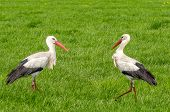 two storks in a green field of grass