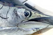 Sailfish face macro closeup detail eye
