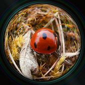 Ladybug Crawling In Grass In Objective Lens