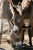 Donkeys couple portrait