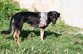 stock photo of amputation  - Injured stray dog with amputated front leg - JPG