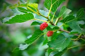 Mulberry Berries Ripen On A Tree