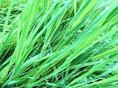 Grass After A Rain