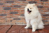 stock photo of puppy dog face  - white pomeranian puppy dog cute pet smily - JPG