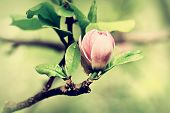 stock photo of saucer magnolia  - A bud of magnolia just ready to burst spring background - JPG