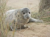 Baby grey seal pup peering through the grass