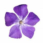 Periwinkle Purple Flower - Vinca Minor - Isolated On White