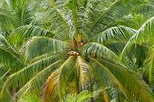 Ripe coconuts at the coconut palm at Koh Samui, Thailand.