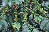 Green Coffee Bush