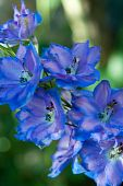 Candle Larkspur