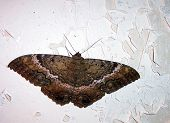 stock photo of moth  - A moth rests on a hut wall in Haiti on a hot summer night - JPG