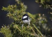 picture of tit  - Coal tit  - JPG