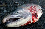 Dead Silver Salmon With Blood Laying On Ground In Close-up