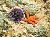 Urchin and Starfish