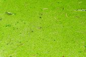 foto of green algae  - Small green algea cover the water background - JPG