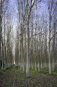 Coppice of poplars in the early fall. Color Image