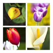 stock photo of arum  - Collage of tulips and arums in a garden - JPG