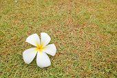 Plumeria Flower On Green Grass