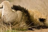portrait of a male lion at Kruger national park, South Africa