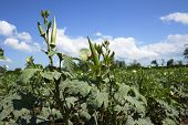 picture of okras  - Okra crop in fruiting stage with blue sky background - JPG