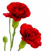 Two Red Carnation Flowers On A White Background