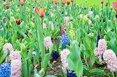Hyacinths and tulips. Spring landscape.