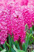 Macro shot of pink hyacinth