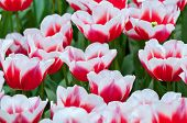 Red white tulips on the flowerbed
