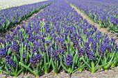 Field of blue hyacinth