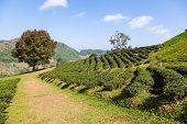 Tea plantation at Doi Mae Salong Chiang Rai Thailand