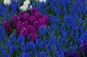 flower bed with blue muscari