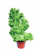 Plant Vegetable Salad With Corrugated Leaves In Garden Pot Isolated