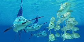 picture of school fish  - A school of ocean Ayu fish try to escape from three carnivorous Blue Marlin fish - JPG