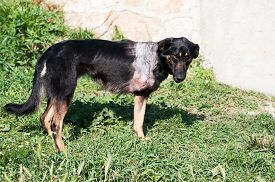 foto of amputation  - Injured stray dog with amputated front leg - JPG