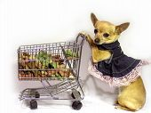 picture of dog clothes  - female chihuahua thinking about what was on her grocery list - JPG