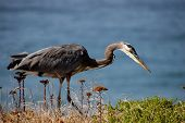 Blue Heron Hunting