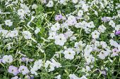 stock photo of petunia  - White and lavender colored petunia with buds - JPG