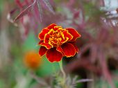 foto of marigold  - Detail of the bicolor Marigold flower in garden - JPG
