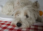 picture of westie  - Sad dog lying down on a colorful tablecloth - JPG