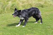 stock photo of border collie  - Blue merle border collie waiting patiently but keenly for the next command - JPG