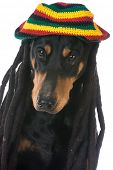 image of dreadlock  - dog in costume  - JPG