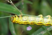 Hanging Yellow Caterpillar