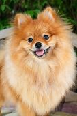 pic of pomeranian  - cute pomeranian dog portrait at home puppy - JPG