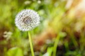 picture of mosquito  - Dandelion with a mosquito in the meadow under the warm spring sun - JPG