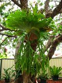 Giant Staghorn