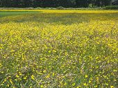 Buttercup Field (view 1) poster