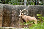 image of nubian  - A mountain dwelling goat  - JPG