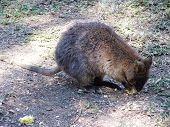picture of quokka  - a quokka eating corn on the cob - JPG
